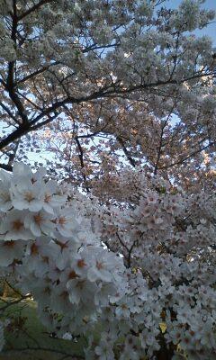 桜の花のプレゼント